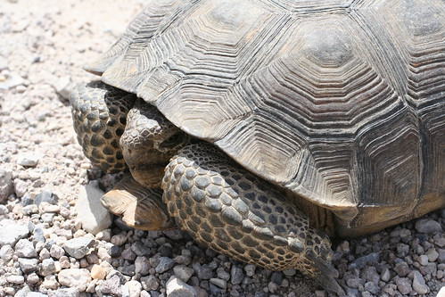 Desert tortoise | by Coyote Crossing