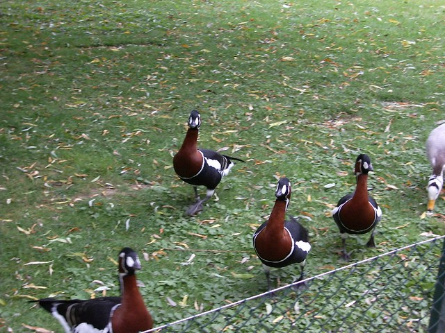 Funny looking duck things | Flickr - Photo Sharing!