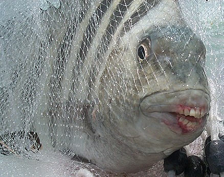 sheepshead it 39 s a sheephead the teeth are actual not