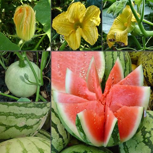 English essay help watermelon