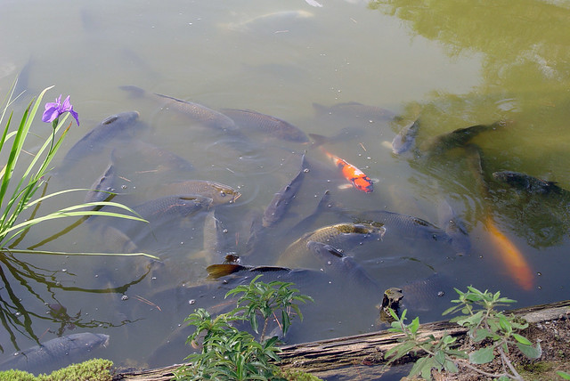 Gp koi fish koi fish in the lake around the temple for Larry king fish oil