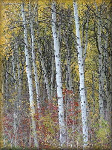 Birch And White Room