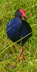 Purple Swamphen | by iansand