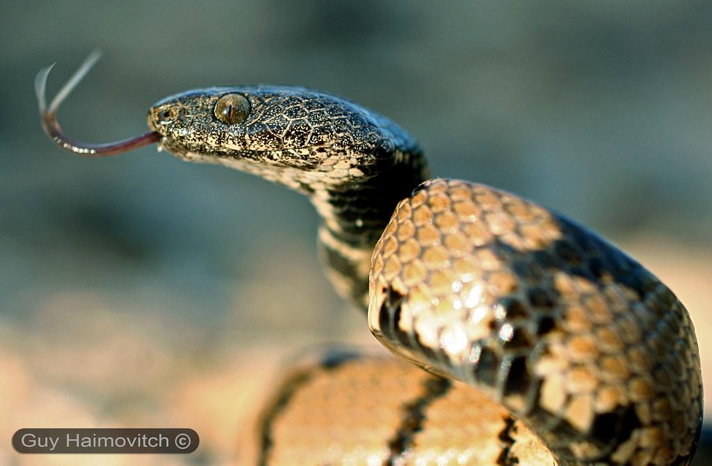 Cat Eye Snake