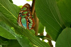 Malachite Butterfly | by Phill`s Photos