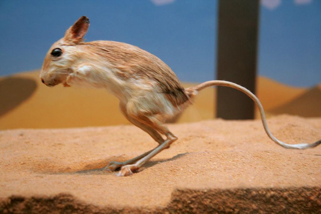 how to get rid of kangaroo rats