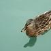 Non-rubber ducky