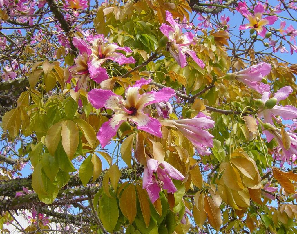 Flowers Pink On Kapok Tree Showing Small Fruit Taken Ne Flickr