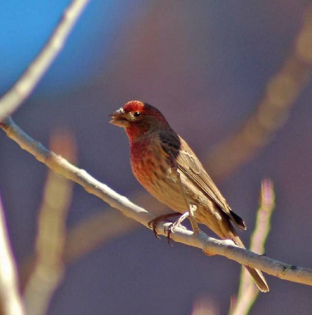 wild canary bird