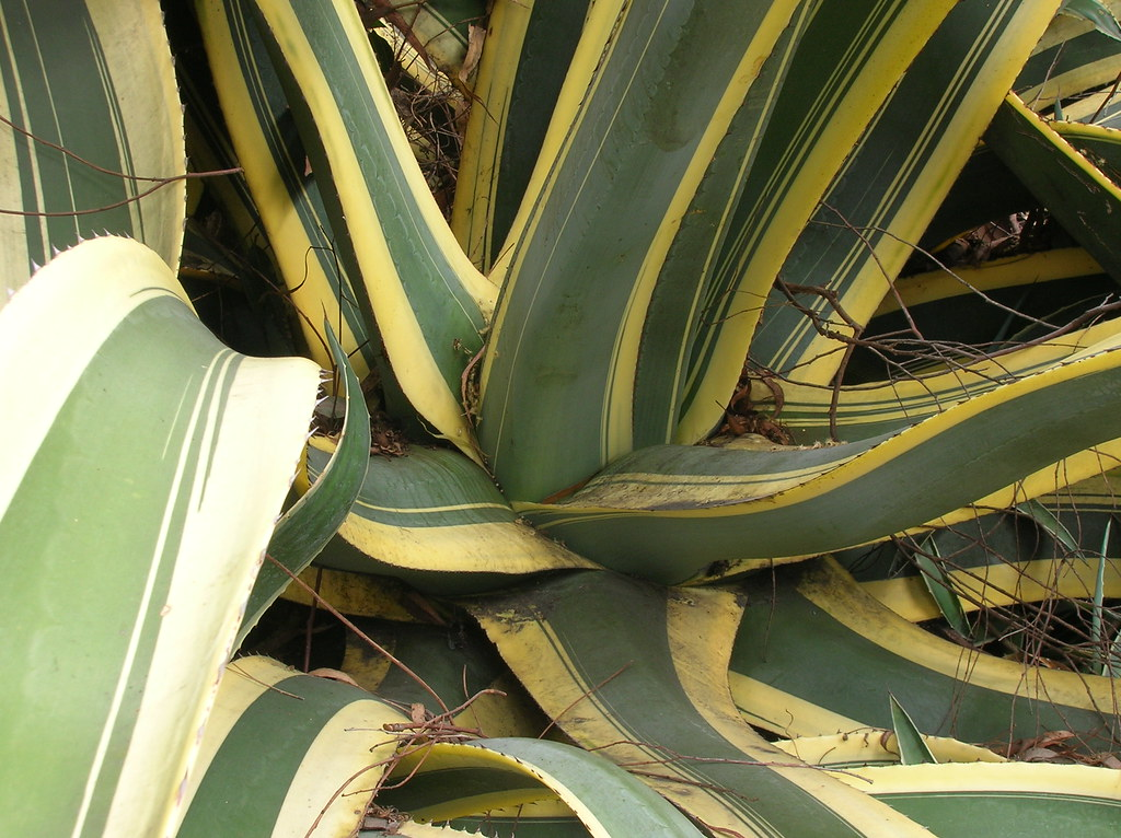 Creo que es sabila o un tipo de cactus m l flickr for Tipos de cactus