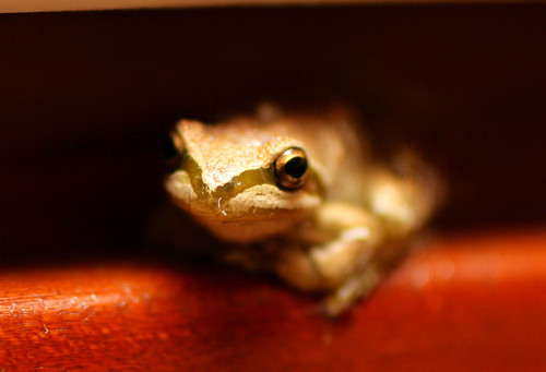 tree frog ... in our kitchen | by j.warmack