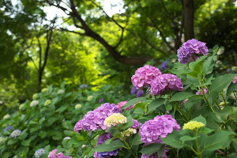 東京路地裏散歩 飛鳥山公園の紫陽花 2015年6月13日