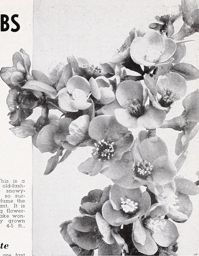 Image From Page 28 Of Armstrong Nurseries 1940 Flickr Bri Fash Black By Internet Archive