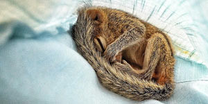 Abandoned Baby Squirrel Rescued