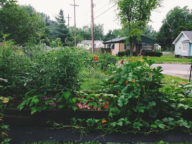 tomatoes, bush beans, giant sprawling unidentified squash
