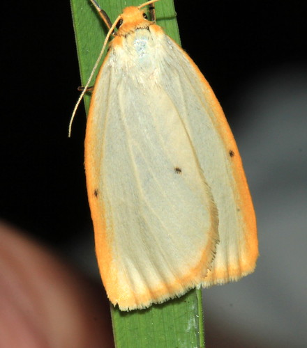 Four Spotted Footman 9496