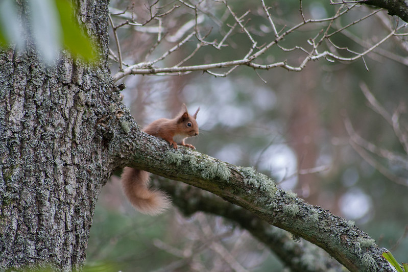 Baby red squirrel, Scotland
