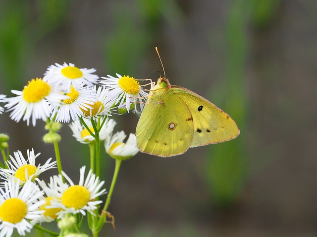 Eastern pale clouded yellow butterfly (Colias erate poliographys,モンキチョウ)