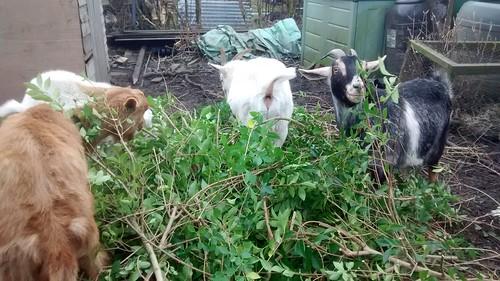 goats eating privet Jan17 2