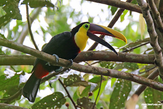 Yellow-throated Toucan | by brick911