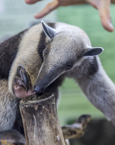 Anteater Gamboa Wildlife Rescue pandemonio 2017 - 04 | by Eva Blue