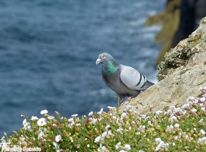 P1130167 - Rock Dove, Skomer