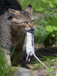 Wild cat and rat