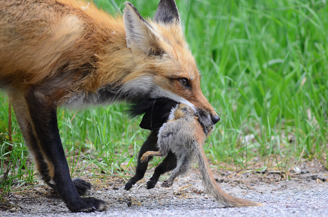 Red Fox with Squirrels