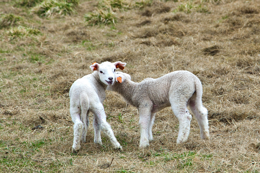 Sheep-23