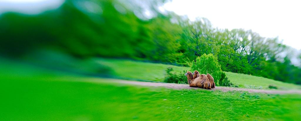 Bactrian Camel (Camelus bactrianus)_1