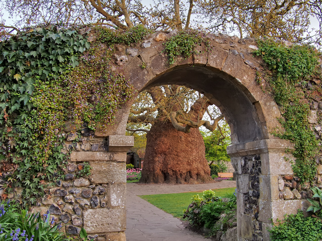 200-year-old Oriental Plane tree framed by Medieval city w…   Flickr