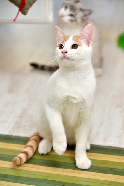 Gary, gatito blanco y naranja cruce Van Turco esterilizado muy activo nacido en Julio´16, en adopción. Valencia. ADOPTADO. 31705906695_b4bbca463a_z