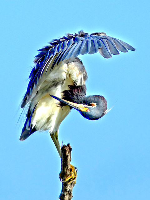Tricolored Heron preening HDR  20150722