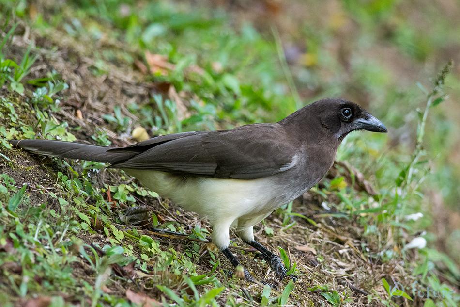 Pruunnäär, Psilorhinus, morio, Cyanocorax, Brown, Jay, Curi, Cancha, Reserve, Costa Rica, Monteverde, Kaido Rummel