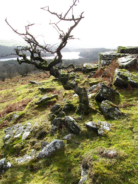 Stunted tree beside Lowery Tor