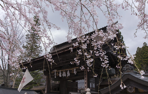 Sakura at Mount Koya