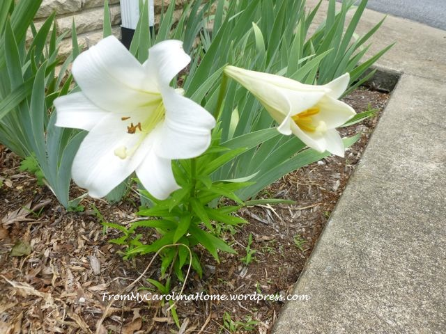 Lilies in the Garden ~ From My Carolina Home 1