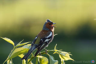 Singing Common chaffinch | by ToonS VisioN