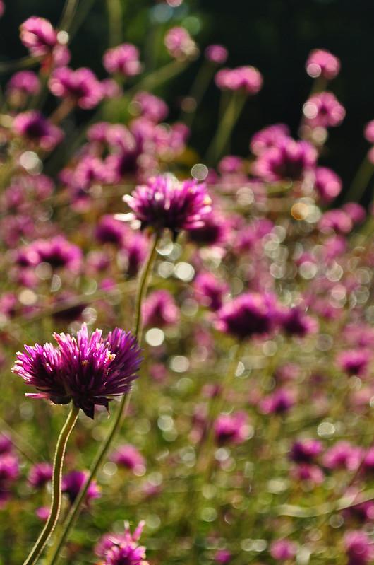 Longwood Flower Garden Walk Gomphrena
