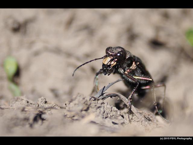 Boreal Long-lipped Tiger Beetle (Cicindela longilabris laurentii)