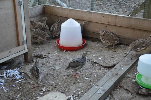 quail June 15 (6)
