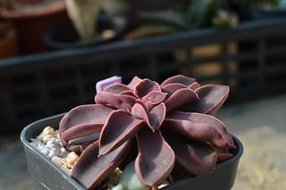 130 Echeveria racemosa  エケベリア ラケモサ