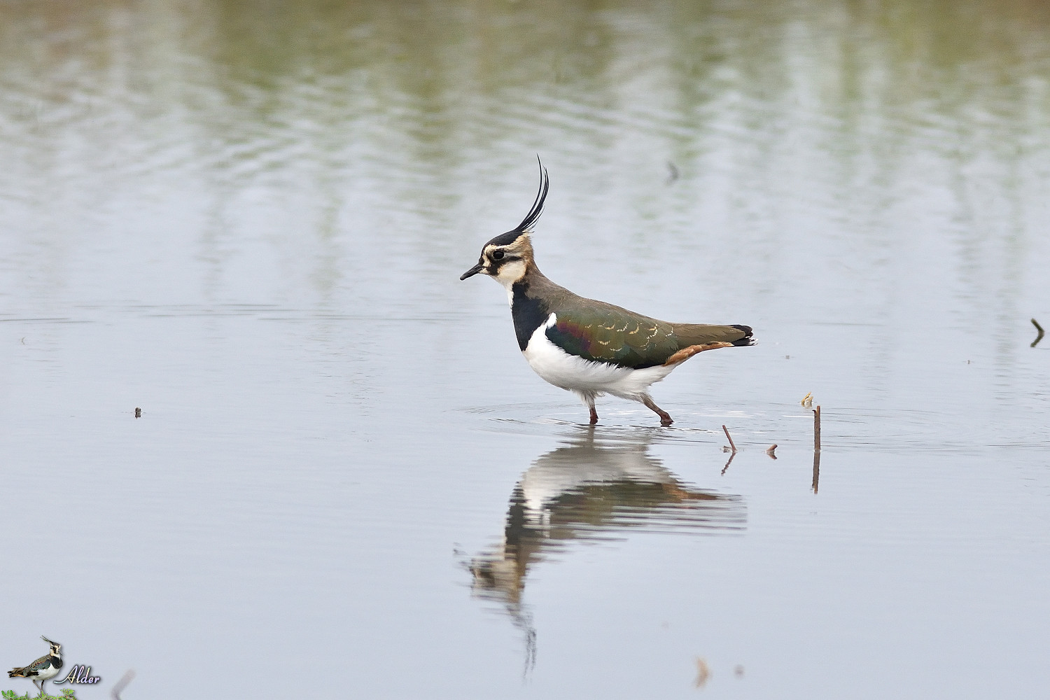 Northern_Lapwing_4833