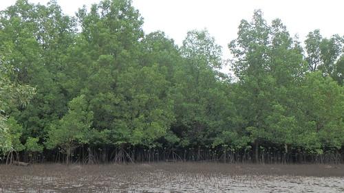 Mangroves at Pulau Semakau