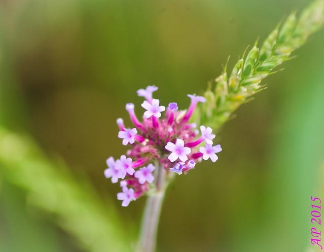 Fleur des champs / Field Flower