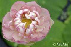 Nelumbo Pink Pretty Princess Payton