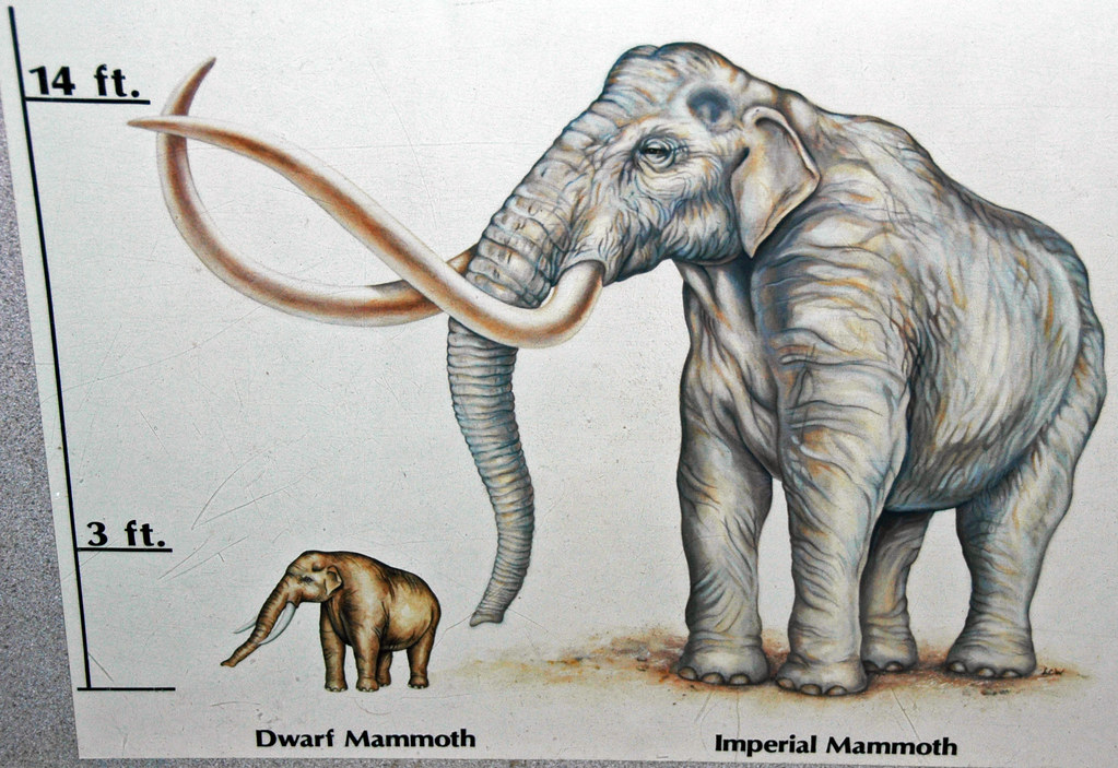 Reconstruction of Mammuthus falconeri (dwarf mammoth) (Lat ...
