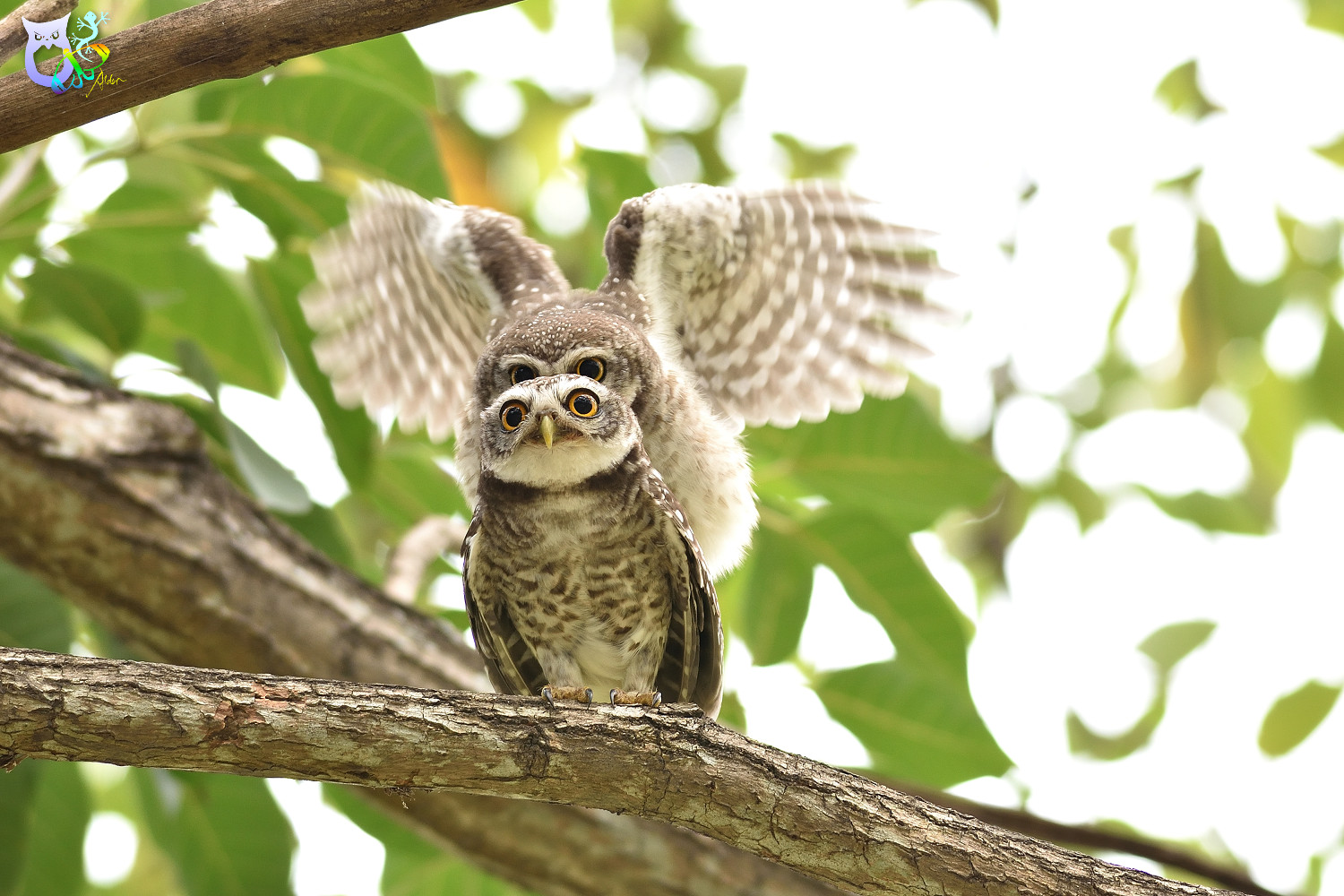 Spotted_Owlet_3258