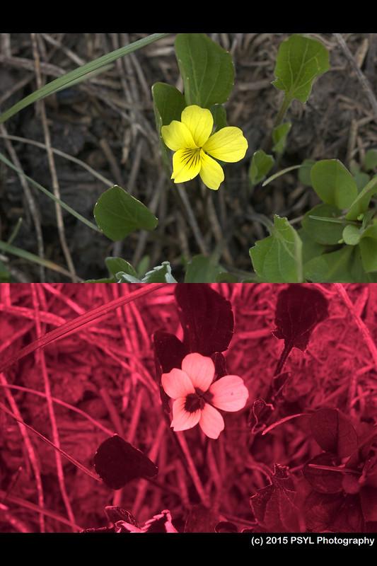 Viola vallicola (visible and UV)
