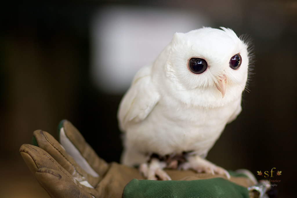 Luna, the White Screech Owl | This beautiful, cute and ...